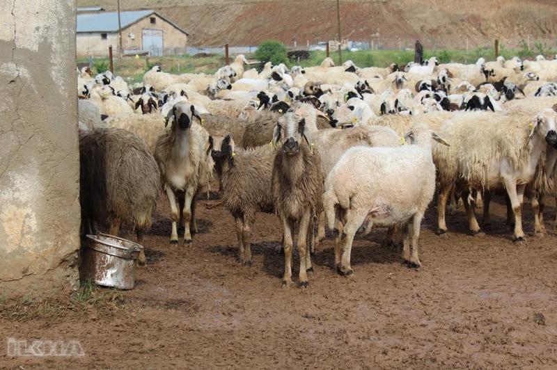 http://elazigbasin.com/galeri/62/28-kucukbas-hayvan-telef-oldu.html